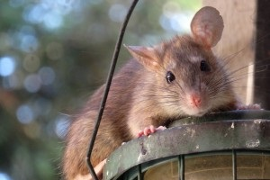 Rat Control, Pest Control in Hounslow, Lampton, TW3. Call Now 020 8166 9746
