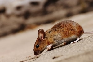 Mouse extermination, Pest Control in Hounslow, Lampton, TW3. Call Now 020 8166 9746