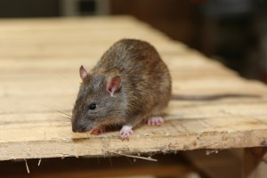 Mice Infestation, Pest Control in Hounslow, Lampton, TW3. Call Now 020 8166 9746